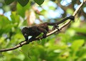 Howler Monkey Infant
