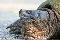 Snapping Turtle #9