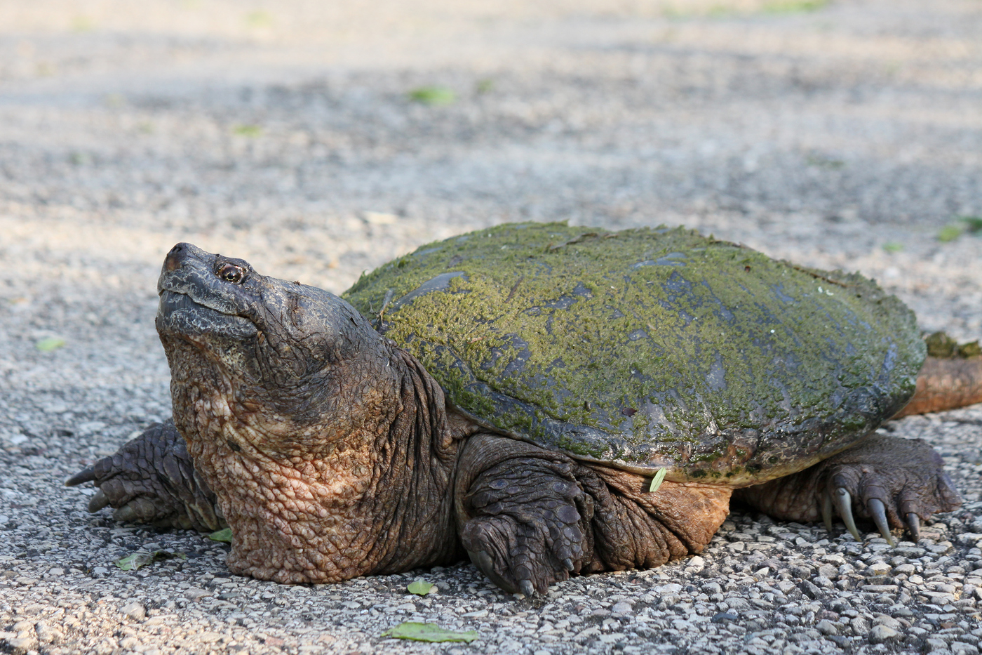 Snapping Turtle #13