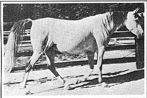 MAAROUFA #895 (Ibn Rabdan x Mahroussa, by Mabrouk Manial) 1931 grey mare bred by PrinceMohamed Ali; imported to the US from Egypt 1932 by Henry B Babson