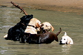 Dogs having water fun as well
